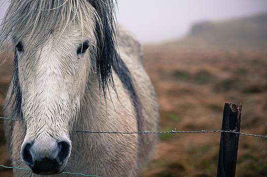 Icelandic Horse by Tim Drivas