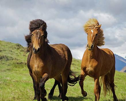 Icelandic Horses by Aaron Hagen