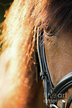 Icelandic Pony by Terri Cage