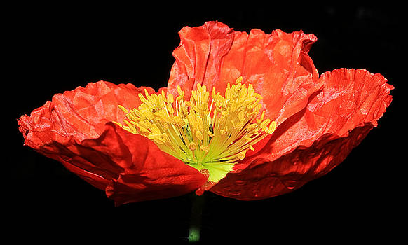 Icelandic Poppy by Tammy Schneider