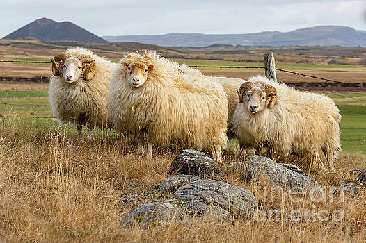 Icelandic Sheep by Jerry Fornarotto