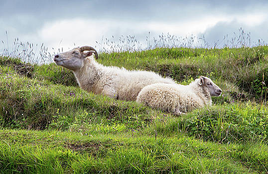 Icelandic Sheep by Venetia Featherstone-Witty
