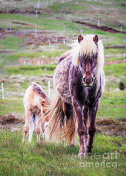 Icelandlic Horse and Foal by Silken Photography