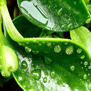 Iceplant  Raindrops by Kathleen Storey