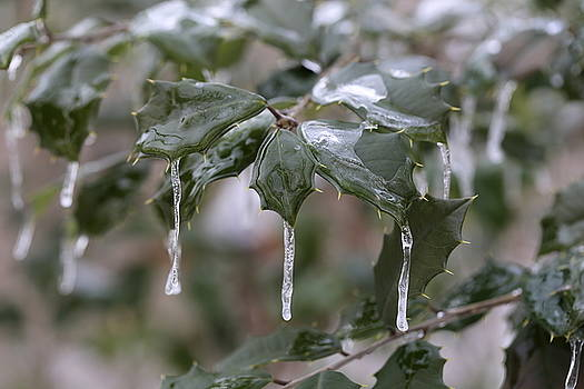 Icicles on an American Holly by David Hand