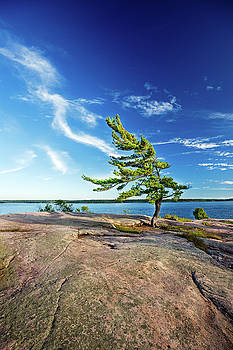 Iconic Windswept Pine by Peter Pauer