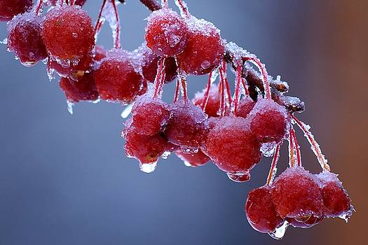 Icy Berries by Lisa Kane
