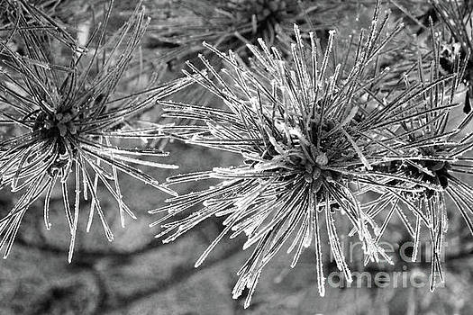 Icy Needles by Kristi Beers-Mason