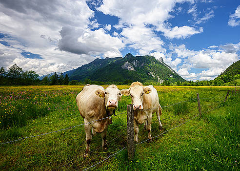Idyllic landscape in the Alps with cows grazing in fresh green meadows, Ettal and Oberammergau, Bavaria, Germany by Marek Kijevsky
