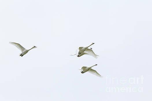 If I Had Wings - Swans in flight by Jane Eleanor Nicholas