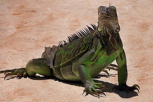 Bibi Rojas - Iguana