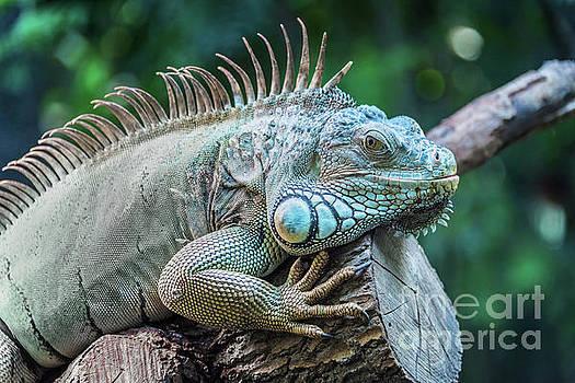 Delphimages Photo Creations - Iguana