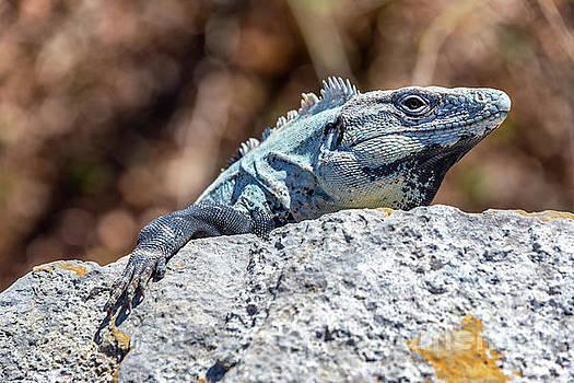 Iguana in Ek Balam by Jess Kraft