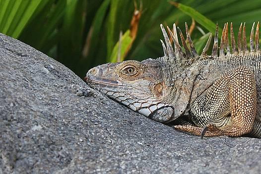 Iguana  by Joscelyn Paine
