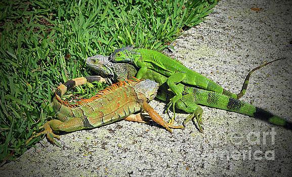 Jost Houk - Iguana Love in the Keys