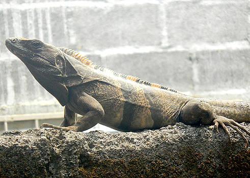 Maria - Iguana
