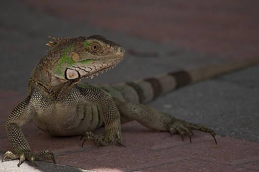 Iguana by Michael Wall