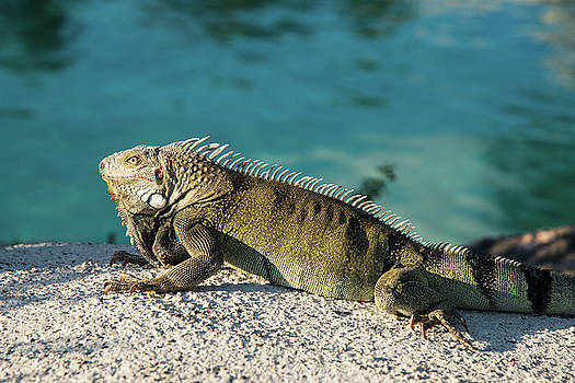 Iguana on Rocks by Zina Zinchik