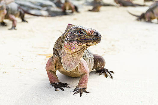 Iguana on the beach by Pier Giorgio Mariani