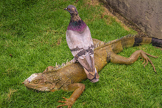 Iguana with pigeon on its back by Janice Bennett