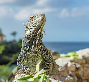 Iguanas- Curacao Views by Gail Johnson