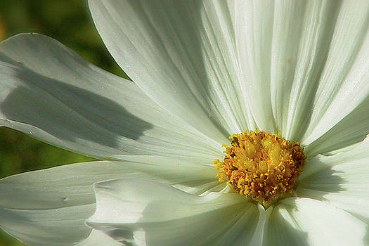 I'll Give you a Daisy by Kathy Dolan