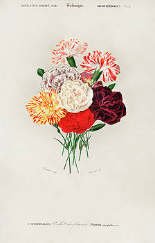 Illustrated Carnation - Dianthus caryophyllus by Charles Dessalines D' Orbigny