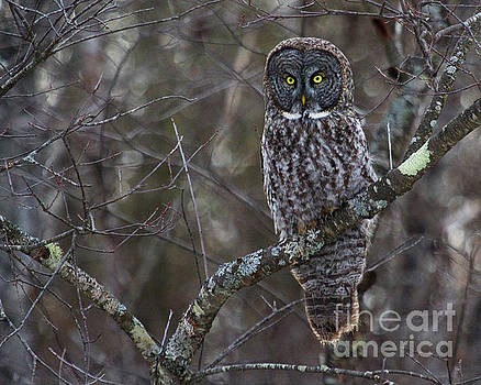 I'M Hungry- Great Gray Owl by Lloyd Alexander