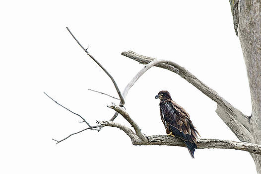 Nikolyn McDonald - Immature Bald Eagle