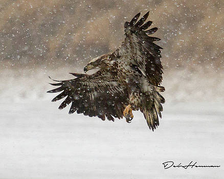 Immature Eagle in Snow by Deb Henman