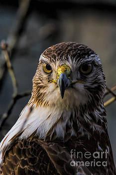 Barbara Bowen - Immature Red-tailed Hawk