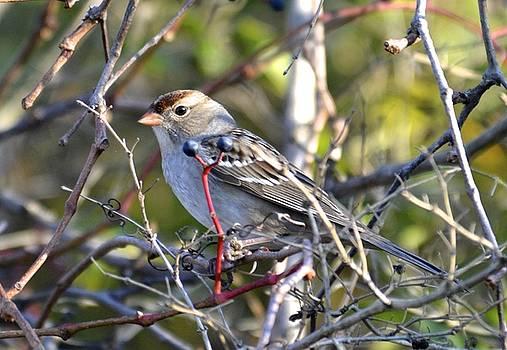 Immature White-crowned Sparrow by Lorelei Galardi