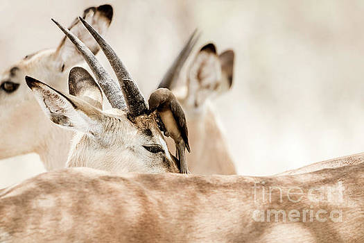 Impala and Oxpecker by Petrus Bester