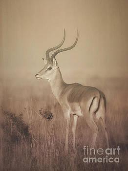 Impala at Dawn by Chris Scroggins
