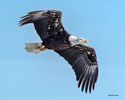 In-flight Bald Eagle by Stephen Johnson