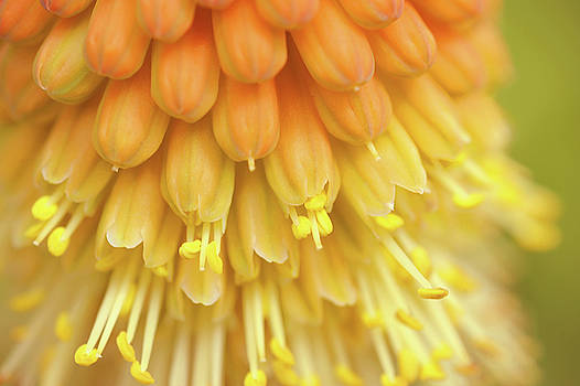 Jenny Rainbow - In Full Bloom 1. Kniphofia Flower Abstract