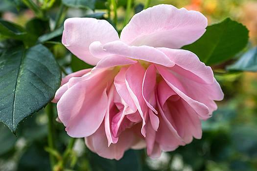 In full bloom by Cindy Grundsten