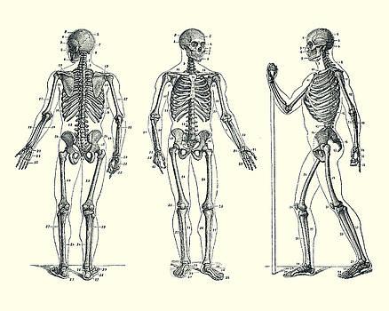 Vintage Anatomy Prints Artwork Collection Skeletal Diagrams