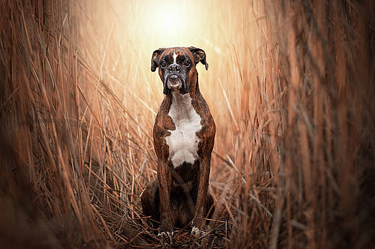 Beauty boxer dog In the reeds by Tamas Szarka
