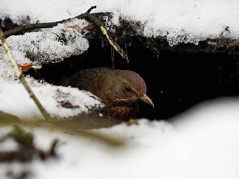 In the Shelder. Eurasian blackbird by Jouko Lehto