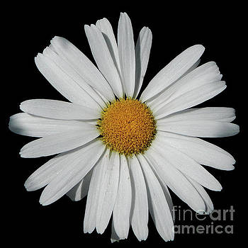 In The Spotlight White Daisy by Dave Nevue
