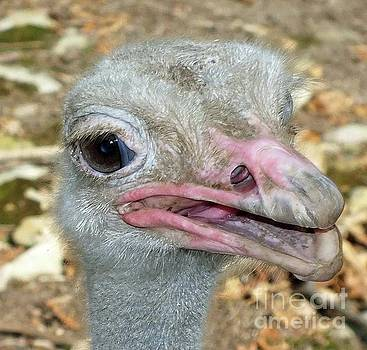 Cindy Treger - In Your Face - Ostrich