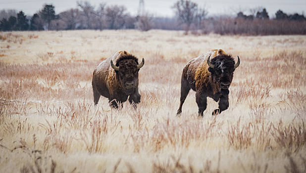Incoming-Bison on the Run by Kelly Kennon