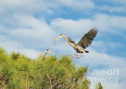 Incoming Great Blue Heron by Edie Ann Mendenhall