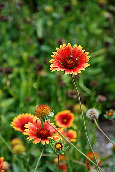 Indian Blanket Flower by Francie Davis