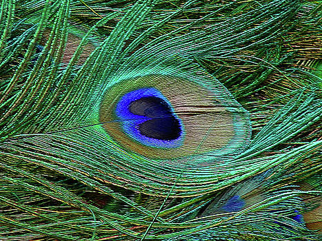Indian Blue Peacock Macro by Blair Wainman