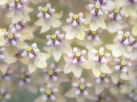 Indian Milkweed Flowers by Alexander Kunz