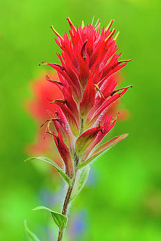 Indian Paintbrush by Christian Heeb