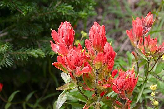 Indian Paintbrush by Perspective Imagery