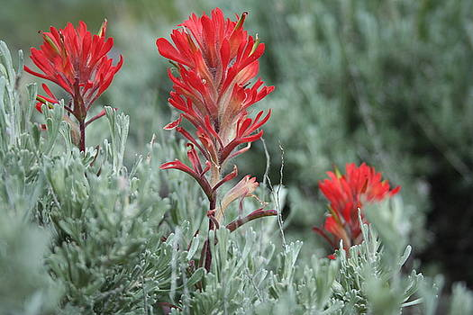 Indian Paintbrush in the Sagebrush by Susan Pedrini